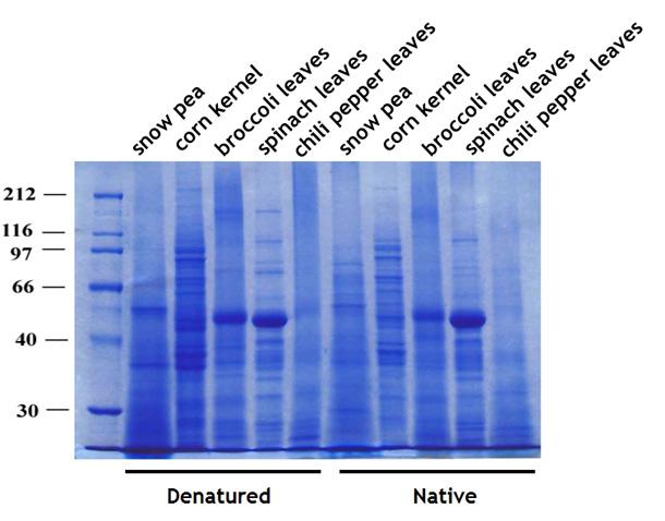 抽出した植物トータルタンパク質