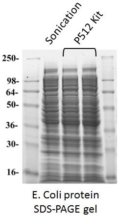 抽出した大腸菌タンパク質のSDS-PAGE