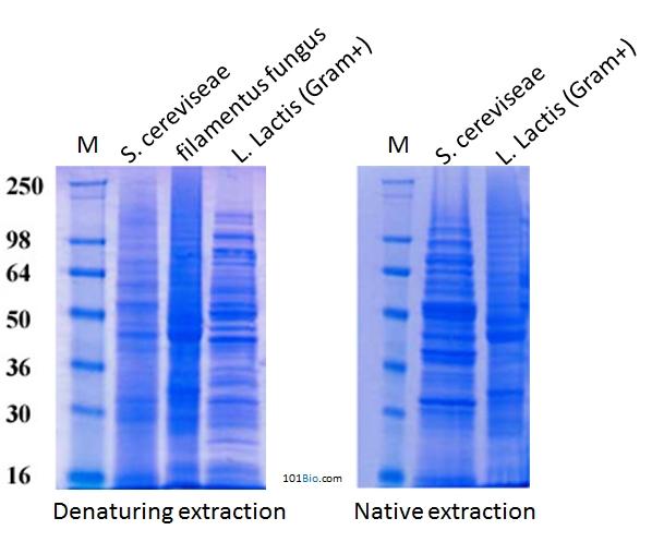 S. cereviseae(出芽酵母)、糸状菌、L. Lactis(グラム陽性菌)からのタンパク質抽出