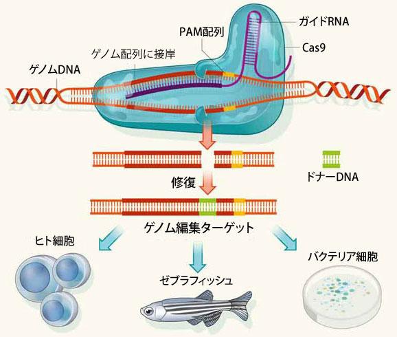 CRISPR-Cas9 システムの概要