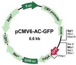 pCMV6-AC-GFP