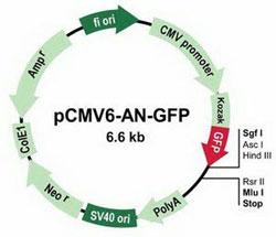 pCMV6-AN-GFP