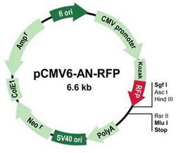 pCMV6-AN-RFP
