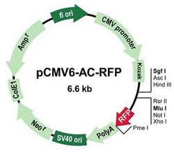 pCMV6-AC-RFP