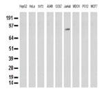 9種の細胞株からの抽出物(35ug)をanti-PECAM1 モノクローナル抗体を使ってウェスタンブロット解析 Clone UMAB32