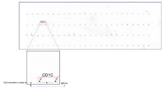 マウスモノクローナル抗体を用いて免疫染色(UM500042)