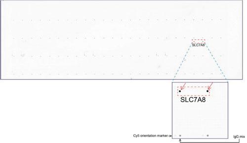 ORG 社のoverexpression protein microarray chip をUltraMAB anti-SLC7A8 マウスモノクローナル抗体を用いて免疫染色(UM500058)。 陽性反応を示すタンパク質は拡大したサブアレイ内に赤色矢印を用い てハイライトした。サブアレイ内に存在する全てのポジティブコント ロールも明確にするためラベルした。