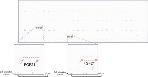 ORG 社のoverexpression protein microarray chip をUltraMAB anti-FGF21 マウスモノクローナル抗体を 用いて免疫染色(UM500059)。陽性反応を示すタンパク質は拡大したサブアレイ内に赤色矢印を用いてハイラ イトした。サブアレイ内に存在する全てのポジティブコントロールも明確にするためラベルした。