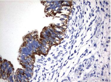 免疫組織化学染色(UM500061)