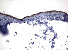 パラフィン包埋したヒト胎生脳皮質組織をanti-KLK8 マウスモノクローナル抗体を使って免疫組織化学染色(UM500068)