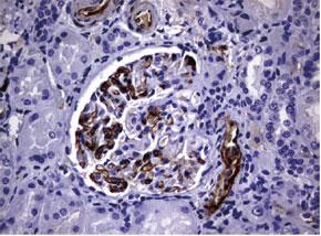 パラフィン包埋したヒト腎臓組織をanti-ADIPOQ マウスモノクローナル抗体を用いて免疫組織化学染色(UM500072)