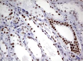 ヒト腎臓組織をanti-ZSCAN18 マウスモノクローナル抗体を使って免疫組織化学染色