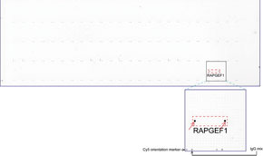 anti- RAPGEF1 マウスモノクローナル抗体を用いて免疫染色