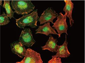 A549 細胞をanti-NBN マウスモノクローナル抗体を用いて免疫蛍光染色 (緑色)。アクチン線維はTRITC-ファロイジン(赤色)ラベルし、核はDAPI 染 色(青色)し、3色を重ね合わせた。 Clone UMAB99