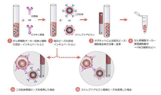 がん幹細胞分離方法
