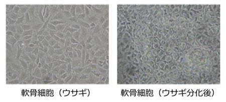 軟骨細胞(ウサギ)(ウサギ分化後)