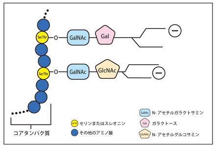 ムチンの構造