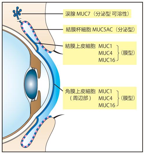 眼表面に発現しているムチンの種類