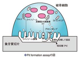 Pit formation assayの図
