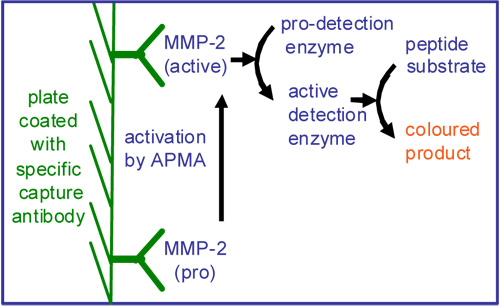 MMP-2 アッセイ原理