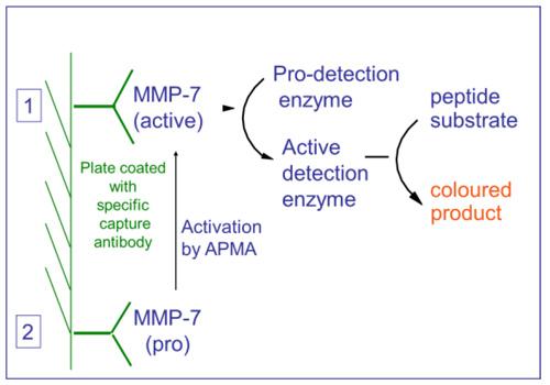 MMP-7 アッセイ原理