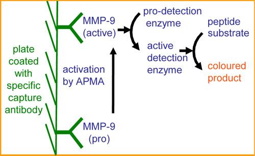 MMP-9 アッセイ原理