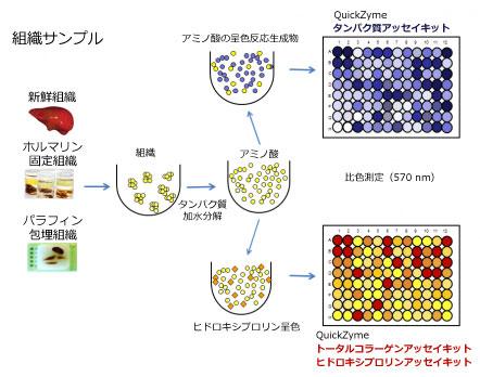 同一サンプルからのタンパク質量およびコラーゲン量の測定