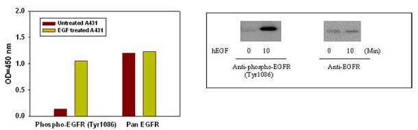 A431 細胞株におけるリコンビナントヒト EGF による刺激