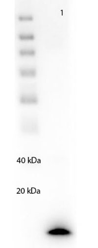 図3 本抗体を用いたリコンビナントPARP1のウェスタンブロット
