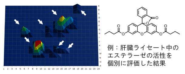 アイソザイム別の酵素活性検出