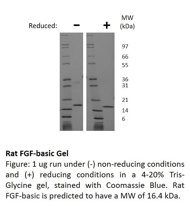 fibroblast growth factor basic animal free sbi 30002af 10ug