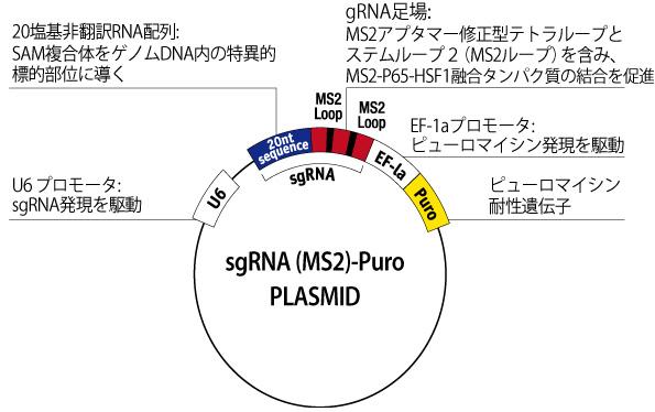 sgRNA (MS2) plasmid U6