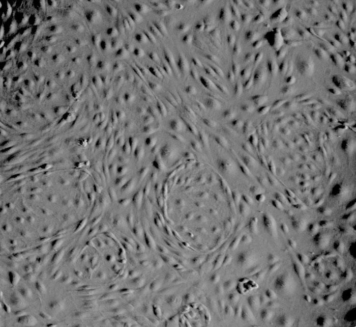 位相差顕微鏡画像 100×