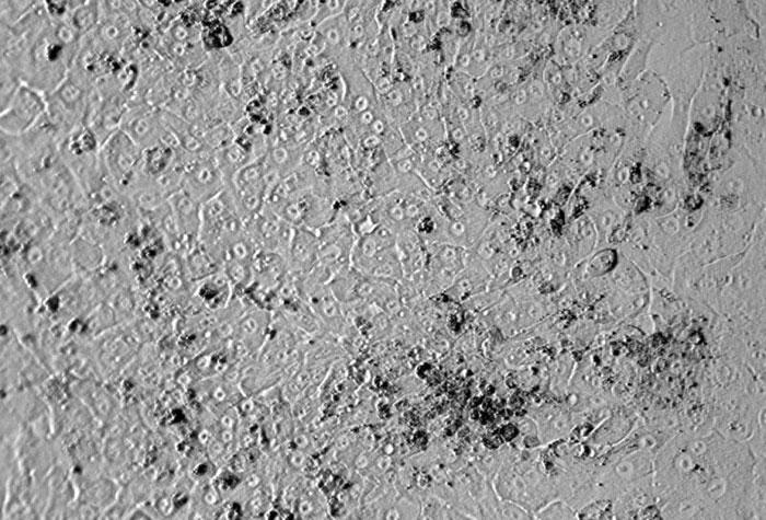 ヒト肝細胞(HH) レリーフコントラスト画像 100×