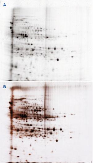 図2 プレラベルした E. coli ライセート 20μg を、SERVA IPG BlueStrip (7cm, pH 5-8 品番: 43006) で分離し、続いて SERVAGel™ TG PRiME™ 14 %  垂直型ミニゲル(品番: 43271)で SDS-PAGE により分離した。
