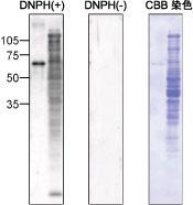 カルボニル化タンパク質ウェスタンブロット検出キット