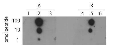 ヒストンH4リン酸化セリン1抗体(品番:600-401-I96)とH4ペプチ ドを用いたドットブロット